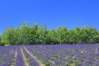 四季彩の丘,ラベンダーの花畑 11076030666| 写真素材・ストックフォト・画像・イラスト素材|アマナイメージズ