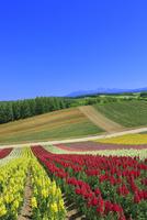 四季彩の丘,花畑(キンギョソウ)と大雪山 11076030670| 写真素材・ストックフォト・画像・イラスト素材|アマナイメージズ
