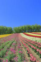 四季彩の丘,花畑(ナデシコ,キンギョソウ) 11076030672| 写真素材・ストックフォト・画像・イラスト素材|アマナイメージズ