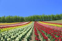 四季彩の丘,花畑(キンギョソウ) 11076030677| 写真素材・ストックフォト・画像・イラスト素材|アマナイメージズ