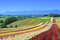 四季彩の丘,花畑(キンギョソウ)と十勝連峰