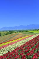 四季彩の丘,花畑(キンギョソウ)と十勝連峰 11076030683| 写真素材・ストックフォト・画像・イラスト素材|アマナイメージズ