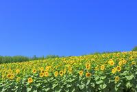 四季彩の丘,ヒマワリの花畑 11076030684| 写真素材・ストックフォト・画像・イラスト素材|アマナイメージズ