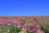 四季彩の丘,花畑(ナデシコ) 11076030687| 写真素材・ストックフォト・画像・イラスト素材|アマナイメージズ