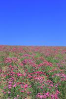 四季彩の丘,花畑(ナデシコ) 11076030688| 写真素材・ストックフォト・画像・イラスト素材|アマナイメージズ
