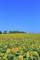 ひまわりの里,ヒマワリの花畑 11076030693| 写真素材・ストックフォト・画像・イラスト素材|アマナイメージズ