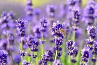 ラベンダーの花とミツバチ