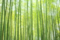 竹林 11076030811  写真素材・ストックフォト・画像・イラスト素材 アマナイメージズ