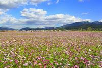 奈良・藤原京跡,コスモス畑