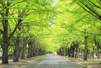 北海道大学,新緑のイチョウ並木