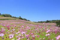 信州佐久・内山牧場のコスモス園