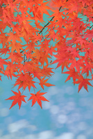 モミジの紅葉と流れ