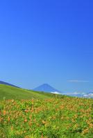霧ケ峰高原に咲くニッコウキスゲの花の群落と富士山