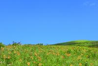 霧ケ峰高原に咲くニッコウキスゲの花の群落と車山 11076031090| 写真素材・ストックフォト・画像・イラスト素材|アマナイメージズ