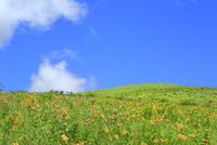 霧ケ峰高原に咲くニッコウキスゲの花の群落と車山