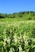 栂池自然園に咲くコバイケイソウの群落