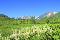 栂池自然園に咲くコバイケイソウの群落と白馬三山 11076031105| 写真素材・ストックフォト・画像・イラスト素材|アマナイメージズ