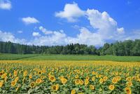 津南のヒマワリ畑 11076031148| 写真素材・ストックフォト・画像・イラスト素材|アマナイメージズ