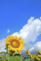 ヒマワリと入道雲 11076031149| 写真素材・ストックフォト・画像・イラスト素材|アマナイメージズ