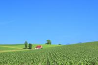 美瑛 赤い屋根の家とトウモロコシ畑 11076031421| 写真素材・ストックフォト・画像・イラスト素材|アマナイメージズ