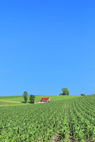 美瑛 赤い屋根の家とトウモロコシ畑