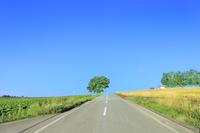美瑛 セブンスターの木と道 11076031445| 写真素材・ストックフォト・画像・イラスト素材|アマナイメージズ