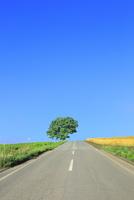 美瑛 セブンスターの木と道 11076031446| 写真素材・ストックフォト・画像・イラスト素材|アマナイメージズ