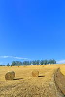 美瑛 マイルドセブンの丘のカラマツ並木に牧草ロールと道