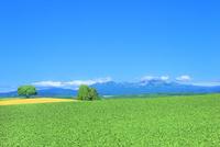 美瑛 緑木と大雪山