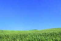 美瑛 トウモロコシ畑と樹林 11076031528| 写真素材・ストックフォト・画像・イラスト素材|アマナイメージズ
