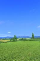 美瑛 緑の牧草とポプラ