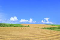 美瑛 麦畑と入道雲