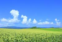 美瑛 トウモロコシ畑と入道雲