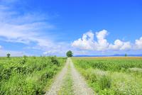 美瑛 道と緑木に入道雲