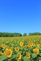 北竜町ひまわりの里 ヒマワリの花畑 11076031587| 写真素材・ストックフォト・画像・イラスト素材|アマナイメージズ