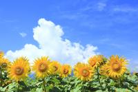 ヒマワリの花と入道雲 11076031594| 写真素材・ストックフォト・画像・イラスト素材|アマナイメージズ