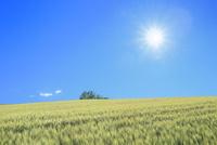 美瑛 麦畑の丘に樹林と太陽 11076031627| 写真素材・ストックフォト・画像・イラスト素材|アマナイメージズ