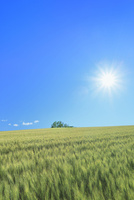 美瑛 麦畑の丘に樹林と太陽