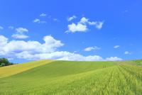 美瑛 麦畑の丘