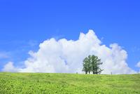 富良野 嵐の木と入道雲