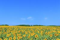 北竜町ひまわりの里 ヒマワリの花畑 11076031640| 写真素材・ストックフォト・画像・イラスト素材|アマナイメージズ