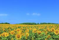 北竜町ひまわりの里 ヒマワリの花畑 11076031642| 写真素材・ストックフォト・画像・イラスト素材|アマナイメージズ