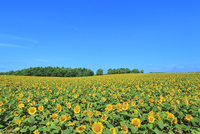 北竜町ひまわりの里 ヒマワリの花畑 11076031645| 写真素材・ストックフォト・画像・イラスト素材|アマナイメージズ