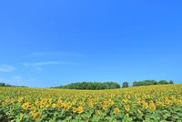 北竜町ひまわりの里 ヒマワリの花畑 11076031646| 写真素材・ストックフォト・画像・イラスト素材|アマナイメージズ