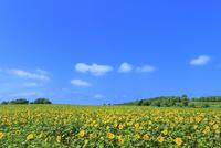 北竜町ひまわりの里 ヒマワリの花畑