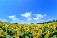 北竜町ひまわりの里 ヒマワリの花畑と雲