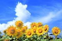 ヒマワリの花と入道雲 11076031654| 写真素材・ストックフォト・画像・イラスト素材|アマナイメージズ
