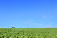 美瑛 親子の木 11076031659| 写真素材・ストックフォト・画像・イラスト素材|アマナイメージズ
