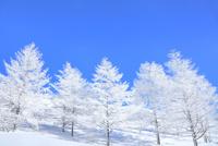 霧ケ峰高原 霧氷のカラマツ林 11076031751| 写真素材・ストックフォト・画像・イラスト素材|アマナイメージズ