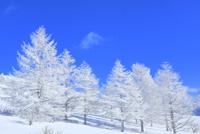 霧ケ峰高原 霧氷のカラマツ林 11076031753| 写真素材・ストックフォト・画像・イラスト素材|アマナイメージズ